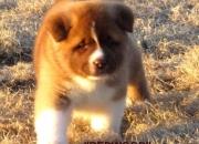 Akita Americano, cachorro con Pedigree