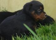 Cachorros linea alemana