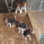 Lindos cachorros beagle