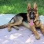 cachorrita de 6meces pastor aleman original vendo por cambio de ciudad.