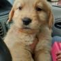 Cachorros Golden, Pug y Chihuahua en venta