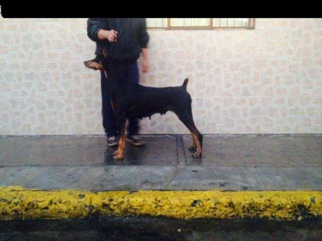 Ofresco hembra doberman adulta calidad show linea black shadow