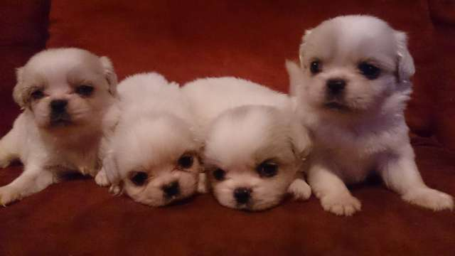 Vendo cachorritos pekineses blancos