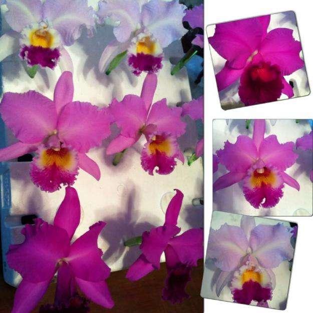 Venta de orquídeas