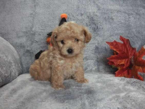 Increíbles cachorros poodle disponibles